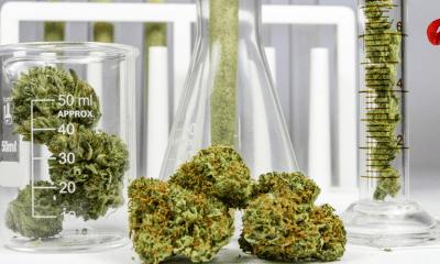 legalizacion del cannabis y el debate por efectos adversos en salud