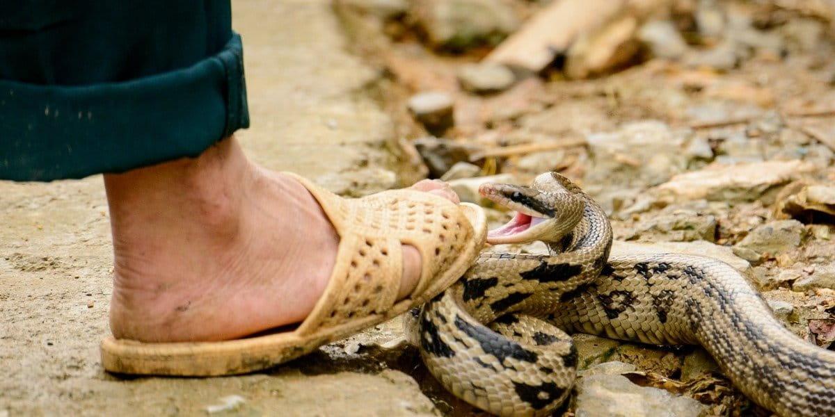 OMS lanza estrategia para mitigar y prevenir las mordeduras de serpiente