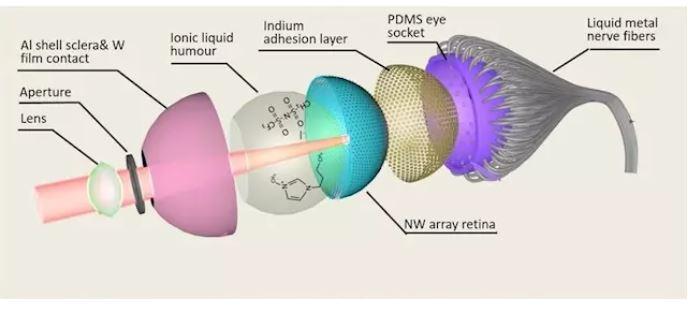 Desarrollan el primer ojo artificial esférico con retina 3D 2