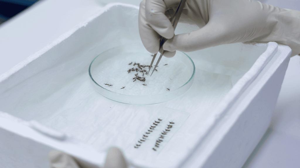 eliminación del dengue